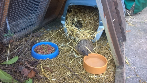 Hedgehog Release Planned At Derby College